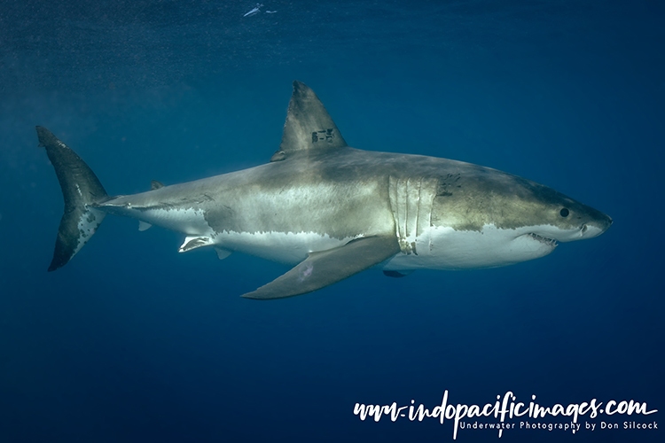 Australian Great White Shark Diving
