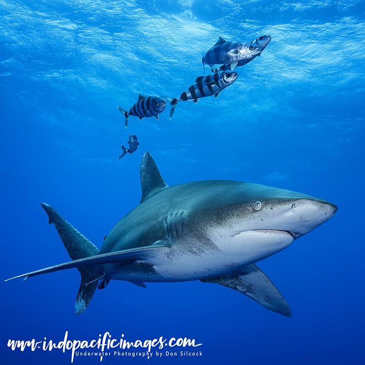 Oceanic Whitetip Sharks