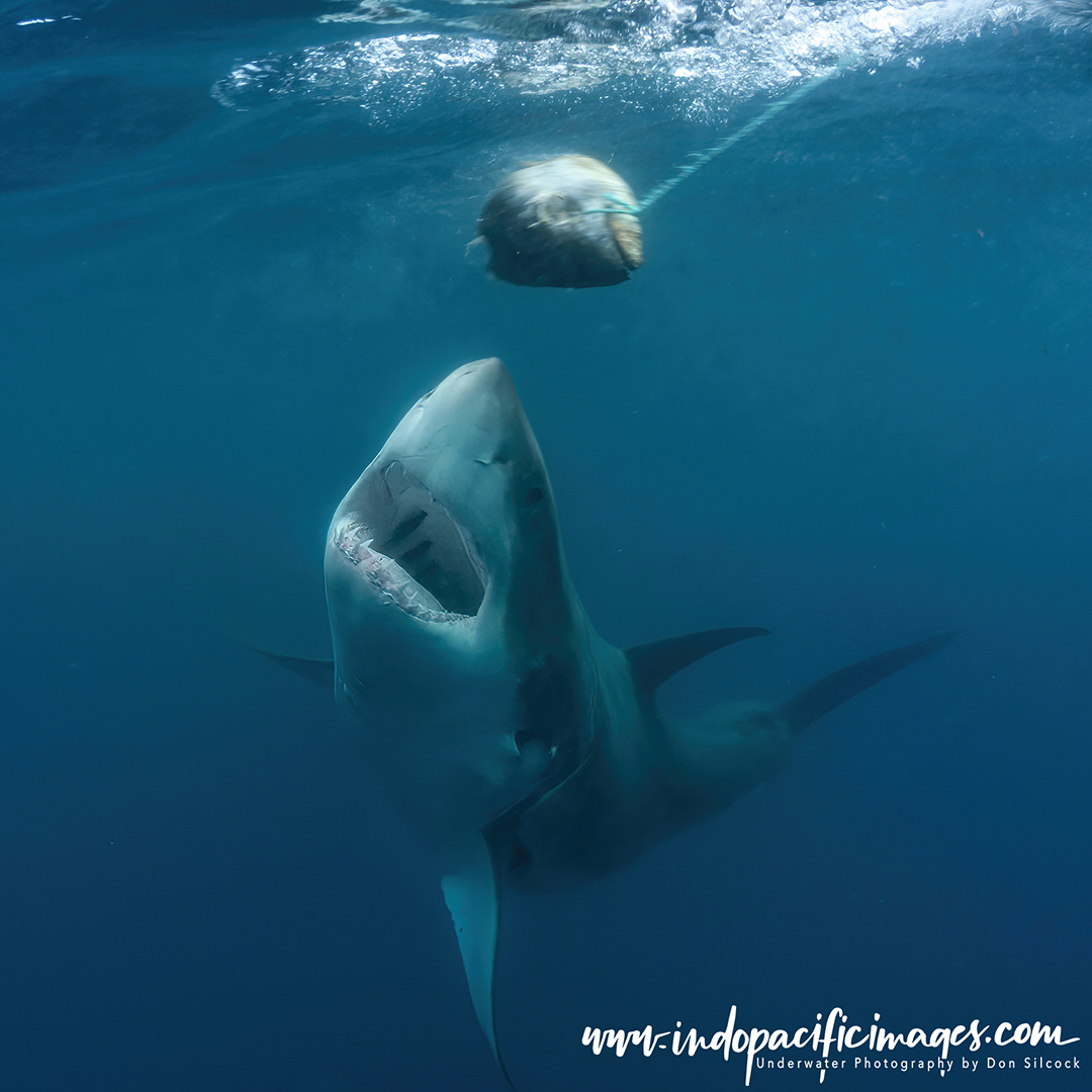 How Much Do Great Whites Eat