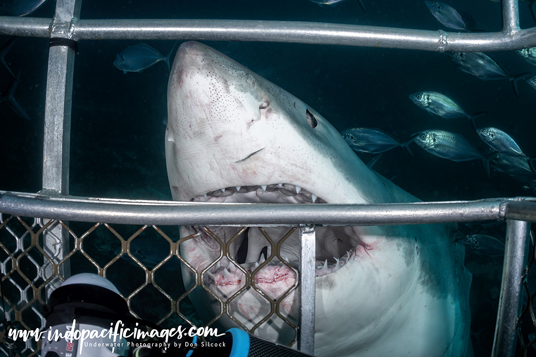 Great White Cage Diving Technique