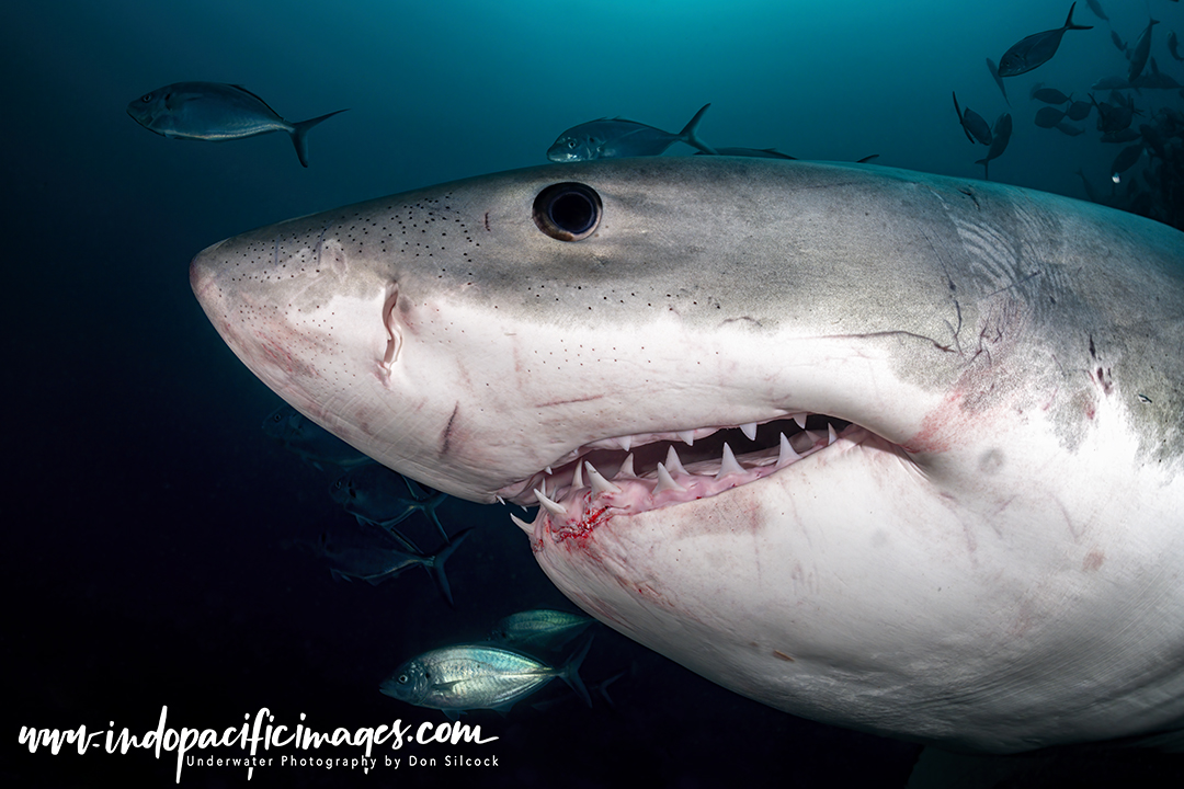 Australian Great White Shark